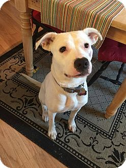 Pit Bull Terrier Mix Dog for adoption in waterbury, Connecticut - Sadie