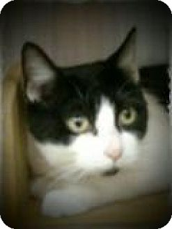 Domestic Shorthair Cat for adoption in Pueblo West, Colorado - Marionet