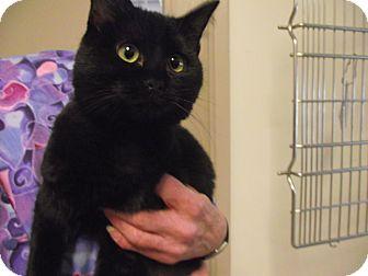 Domestic Shorthair Kitten for adoption in Chambersburg, Pennsylvania - Rosie