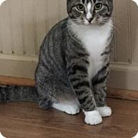 Domestic Shorthair Cat for adoption in Alpharetta, Georgia - Tiger