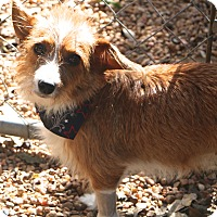 Cairn Terrier/Fox Terrier (Wirehaired) Mix Dog for adoption in Allentown, Pennsylvania - Wendy
