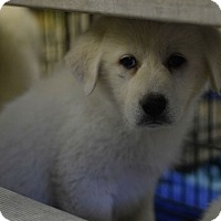 Great Pyrenees Mix Puppy for adoption in Macomb, Illinois - BeeGee