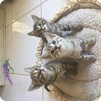 Adopt A Pet :: ALPHABET KITTIES - Fort Lauderdale, FL