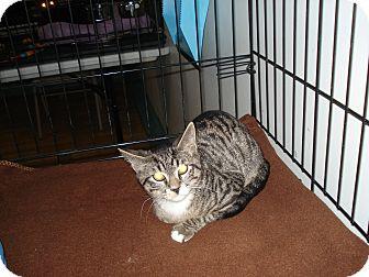 Domestic Shorthair Kitten for adoption in Speonk, New York - Eric