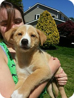 Siberian Husky/Australian Shepherd Mix Puppy for adoption in South Jersey, New Jersey - Alice