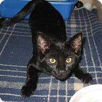 Adopt A Pet :: Black Velvet - Shelton, WA
