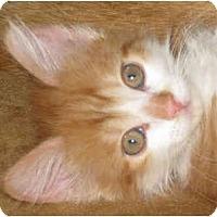 Adopt A Pet :: Ferocious Poof - Sykesville, MD