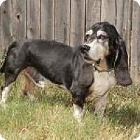 Adopt A Pet :: Boomer - Norman, OK