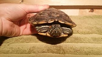 Turtle - Other for adoption in Pefferlaw, Ontario - Turdy