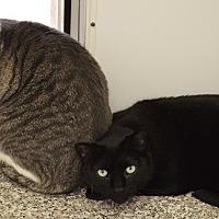 Domestic Shorthair Cat for adoption in Fryeburg, Maine - Mac
