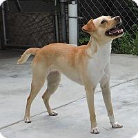 Adopt A Pet :: Bella - La Habra Heights, CA