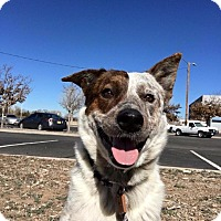 Adopt A Pet :: Bo - Albuquerque, NM
