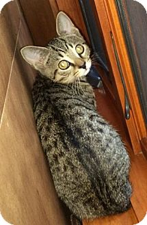 Domestic Shorthair Kitten for adoption in Franklin, Indiana - Wally