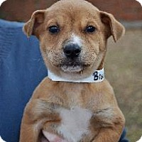 Adopt A Pet :: Biscuit - Richardson, TX