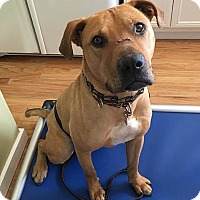 Rhodesian Ridgeback/Terrier (Unknown Type, Medium) Mix Dog for adoption in Spokane, Washington - Colby **READ ENTIRE PROFILE**