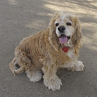 Cocker Spaniel Dog for adoption in Toluca Lake, California - STEVIE