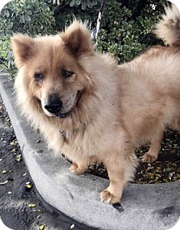 Chow Chow Dog for adoption in Ventura, California - Kitko