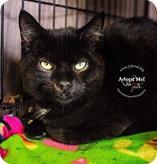 Domestic Shorthair Kitten for adoption in Charlotte, North Carolina - A..  Shadow