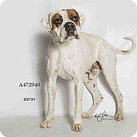 Adopt A Pet :: A472940 Moreno Valley - Beverly Hills, CA