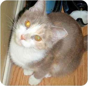 Calico Kitten for adoption in Hamilton, Ontario - Patches