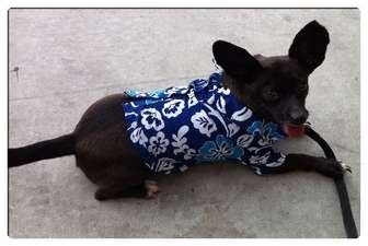 Chihuahua/Terrier (Unknown Type, Small) Mix Dog for adoption in Fowler, California - Despereaux