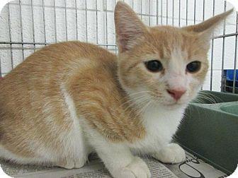 Domestic Shorthair Cat for adoption in Chesapeake, Virginia - Cinnamon