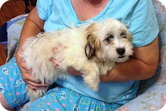 Shih Tzu/Poodle (Miniature) Mix Dog for adoption in Hazard, Kentucky - Buster