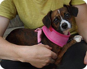 Boston Terrier/Pomeranian Mix Dog for adoption in Hamilton, Ontario - Monkey