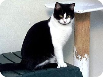 Domestic Shorthair Cat for adoption in Belleville, Michigan - Emmy