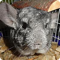 Adopt A Pet :: Rocco - Titusville, FL
