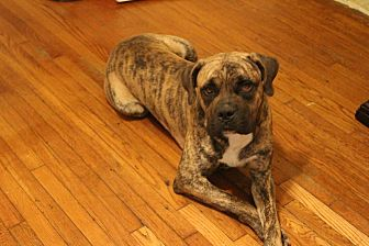 Bullmastiff Mix Dog for adoption in Long Beach, California - Ronan