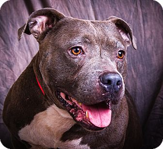 Pit Bull Terrier Dog for adoption in Anna, Illinois - BLUE BOY