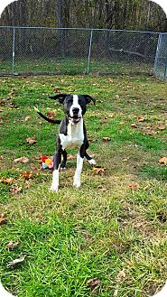 Pit Bull Terrier Mix Dog for adoption in Fairmont, West Virginia - Pilgrim