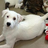 Adopt A Pet :: Dottie - Cleburne, TX