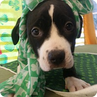 Adopt A Pet :: Allie - Detroit, MI