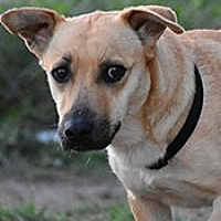 Beagle Mix Dog for adoption in Jarrell, Texas - Cadence