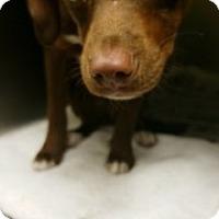 Adopt A Pet :: Teddiursa 6304 - Joplin, MO