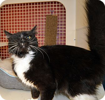 Domestic Longhair Cat for adoption in Richmond, Virginia - Bear