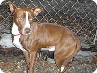 Australian Cattle Dog/Spaniel (Unknown Type) Mix Dog for adoption in Fort Valley, Georgia - Cajun