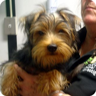 Yorkie, Yorkshire Terrier Mix Puppy for adoption in Greencastle, North Carolina - Buddy