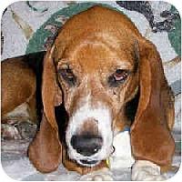 Adopt A Pet :: Archie - Phoenix, AZ