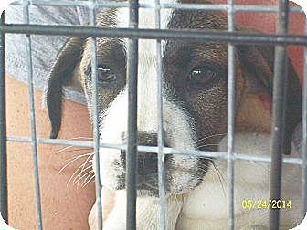 Spaniel (Unknown Type)/Dachshund Mix Puppy for adoption in Mexia, Texas - Whitney