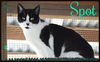 Domestic Shorthair Cat for adoption in Ocean View, New Jersey - Spot