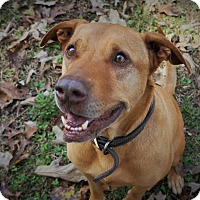 American Staffordshire Terrier Mix Dog for adoption in Ravenel, South Carolina - Hanky 2