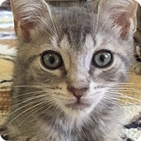 Domestic Shorthair Kitten for adoption in Philadelphia, Pennsylvania - Ralphie