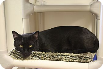 Domestic Shorthair Cat for adoption in North Hollywood, California - Astro