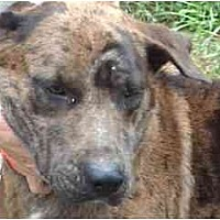 Catahoula Leopard Dog Mix Dog for adoption in Tyler, Texas - TG-Nathan