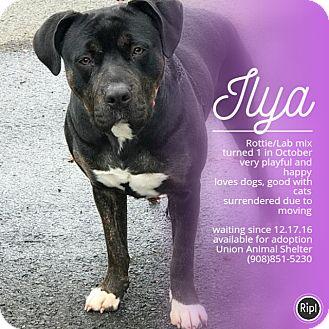 Rottweiler/Labrador Retriever Mix Puppy for adoption in Union, New Jersey - Ilya