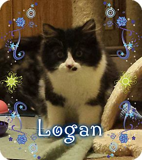 Domestic Longhair Kitten for adoption in Putnam, Connecticut - Logan