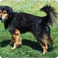 Adopt A Pet :: Sampson - Toronto/Etobicoke/GTA, ON
